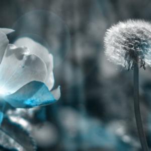 Blue flower and dandelion
